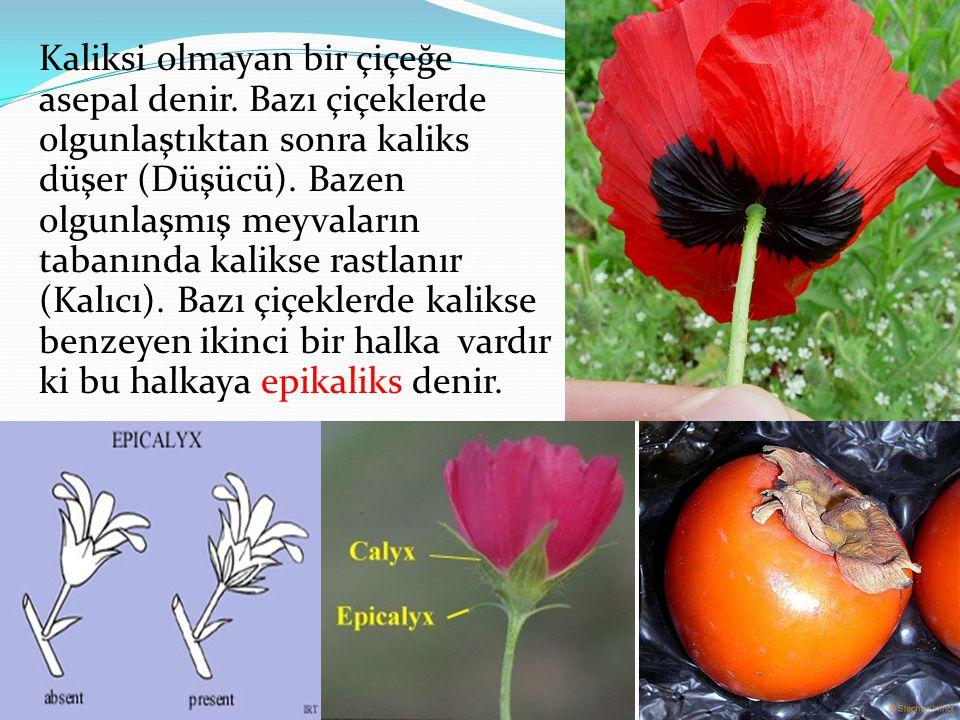 Kaliksi olmayan bir çiçeğe asepal denir