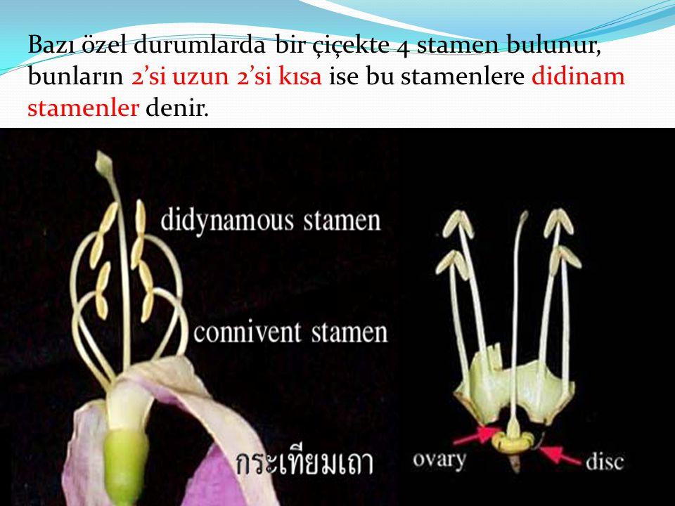Bazı özel durumlarda bir çiçekte 4 stamen bulunur, bunların 2'si uzun 2'si kısa ise bu stamenlere didinam stamenler denir.