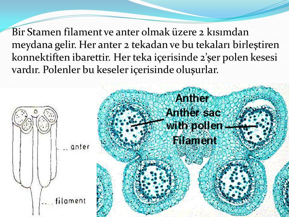 Bir Stamen filament ve anter olmak üzere 2 kısımdan meydana gelir