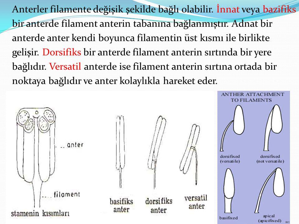Anterler filamente değişik şekilde bağlı olabilir