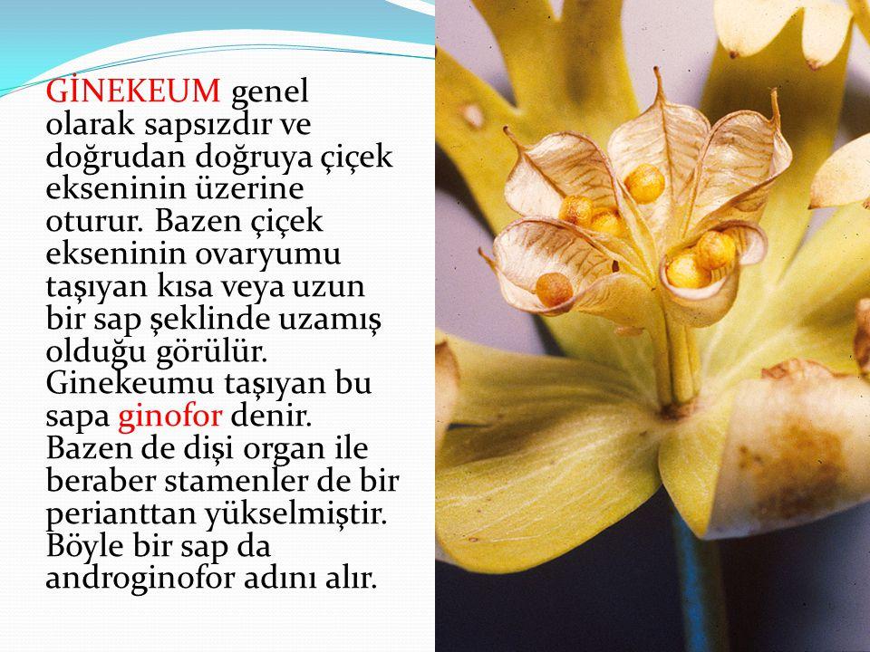 GİNEKEUM genel olarak sapsızdır ve doğrudan doğruya çiçek ekseninin üzerine oturur.