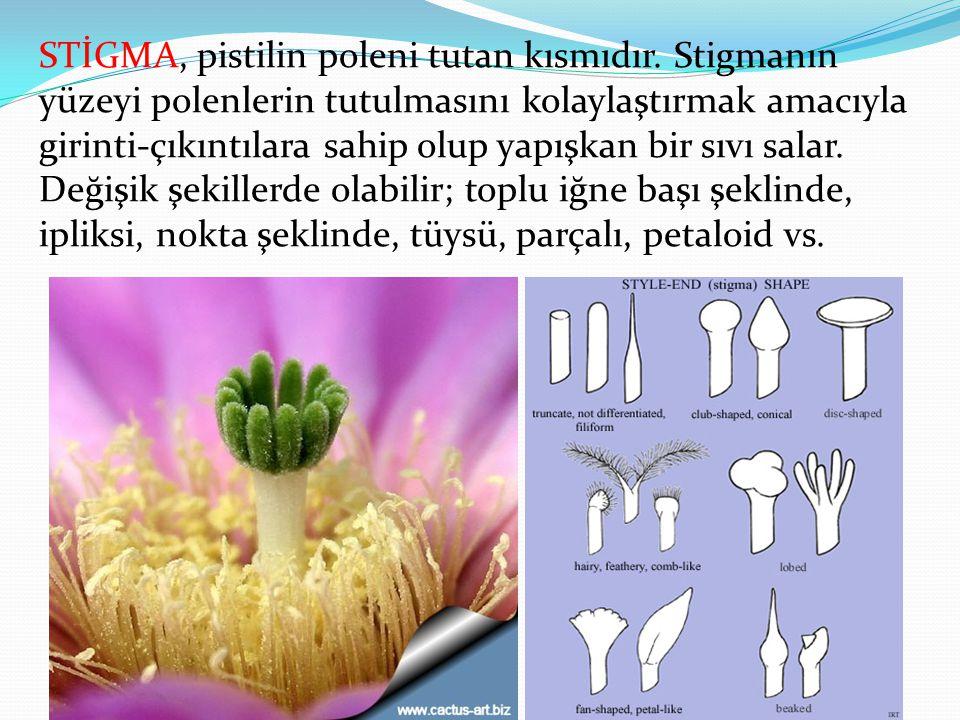 STİGMA, pistilin poleni tutan kısmıdır