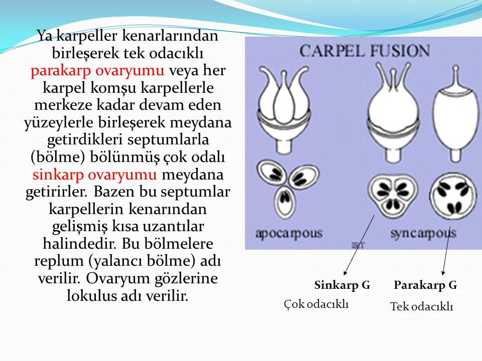 Ya karpeller kenarlarından birleşerek tek odacıklı parakarp ovaryumu veya her karpel komşu karpellerle merkeze kadar devam eden yüzeylerle birleşerek meydana getirdikleri septumlarla (bölme) bölünmüş çok odalı sinkarp ovaryumu meydana getirirler. Bazen bu septumlar karpellerin kenarından gelişmiş kısa uzantılar halindedir. Bu bölmelere replum (yalancı bölme) adı verilir. Ovaryum gözlerine lokulus adı verilir.