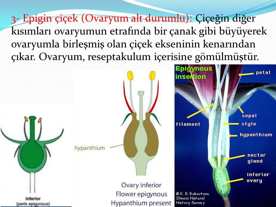 3- Epigin çiçek (Ovaryum alt durumlu): Çiçeğin diğer kısımları ovaryumun etrafında bir çanak gibi büyüyerek ovaryumla birleşmiş olan çiçek ekseninin kenarından çıkar.