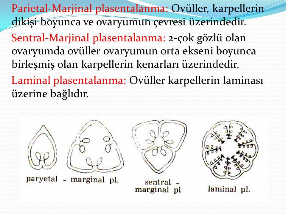 Parietal-Marjinal plasentalanma: Ovüller, karpellerin dikişi boyunca ve ovaryumun çevresi üzerindedir.