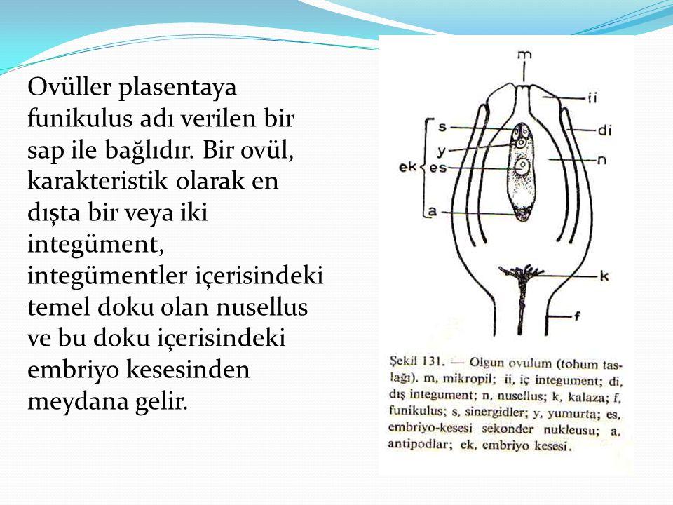 Ovüller plasentaya funikulus adı verilen bir sap ile bağlıdır