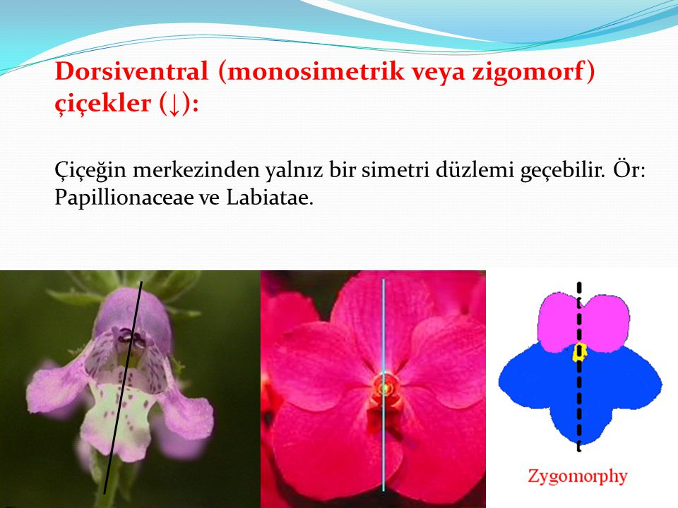 Dorsiventral (monosimetrik veya zigomorf) çiçekler (↓): Çiçeğin merkezinden yalnız bir simetri düzlemi geçebilir.