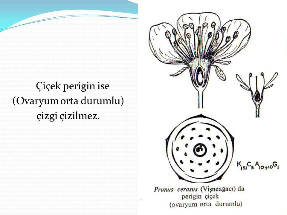 Çiçek perigin ise (Ovaryum orta durumlu) çizgi çizilmez.