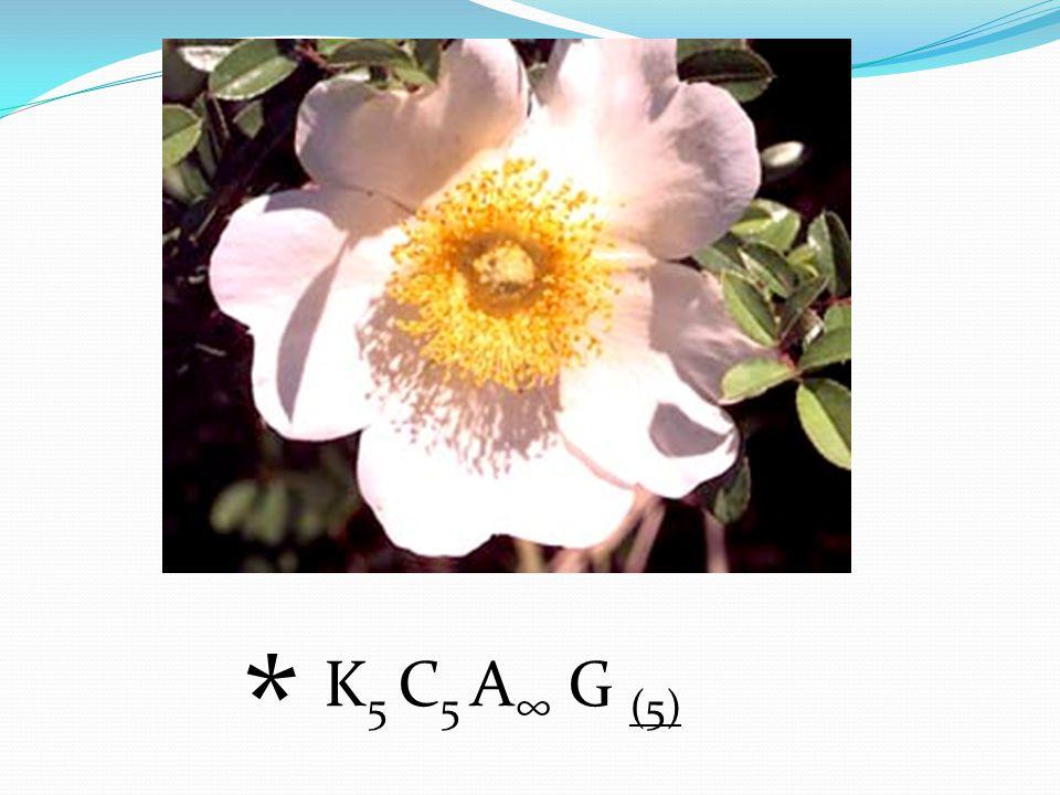 * K5 C5 A∞ G (5)