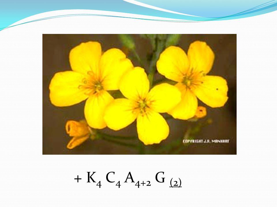 + K4 C4 A4+2 G (2)
