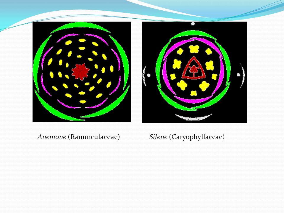 Anemone (Ranunculaceae)