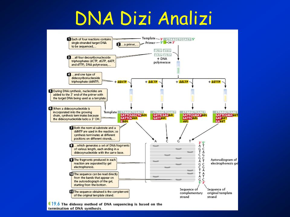 DNA Dizi Analizi