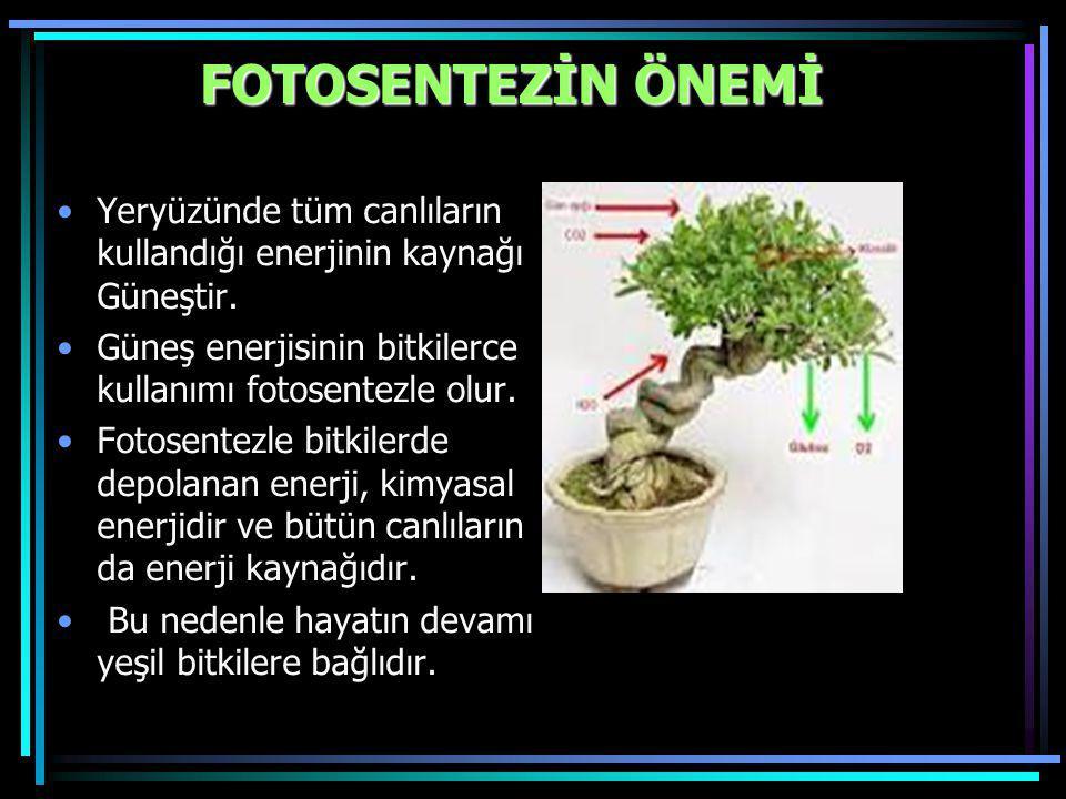FOTOSENTEZİN ÖNEMİ Yeryüzünde tüm canlıların kullandığı enerjinin kaynağı Güneştir. Güneş enerjisinin bitkilerce kullanımı fotosentezle olur.