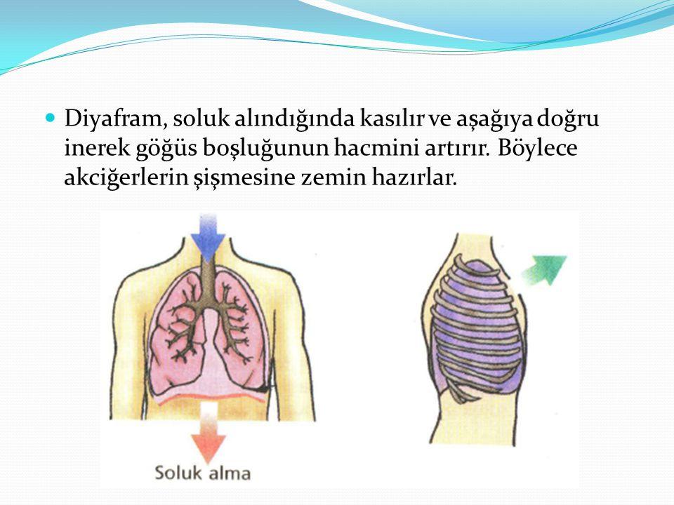 Diyafram, soluk alındığında kasılır ve aşağıya doğru inerek göğüs boşluğunun hacmini artırır.