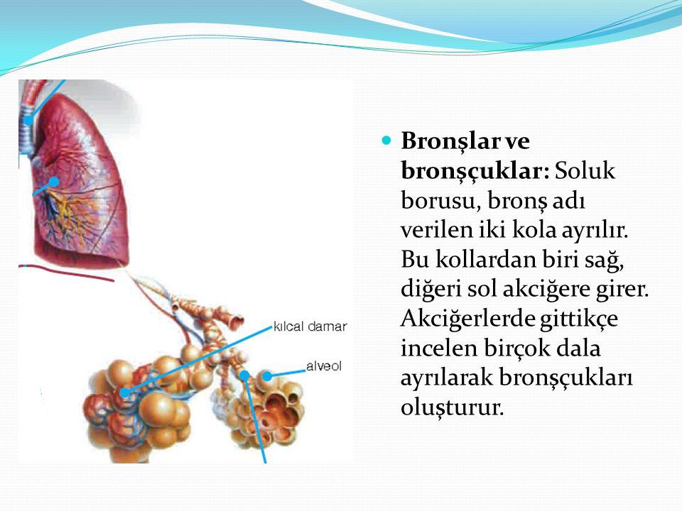 Bronşlar ve bronşçuklar: Soluk borusu, bronş adı verilen iki kola ayrılır.