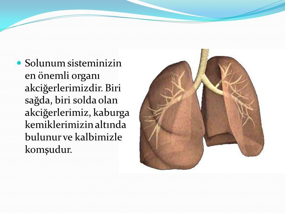 Solunum sisteminizin en önemli organı akciğerlerimizdir