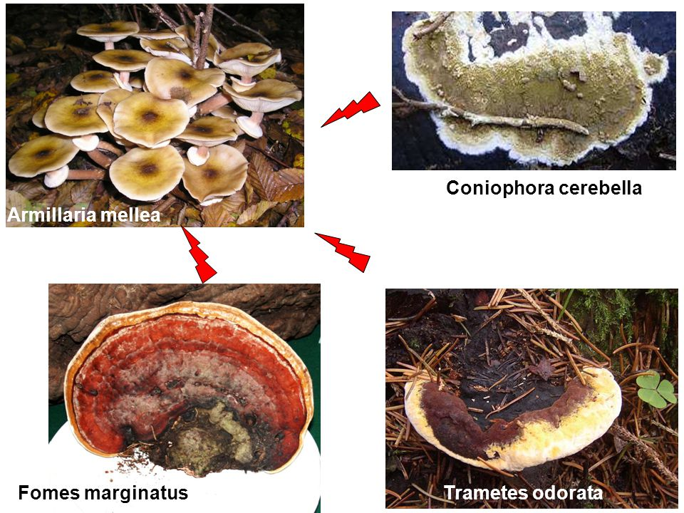 Coniophora cerebella Armillaria mellea Fomes marginatus Trametes odorata