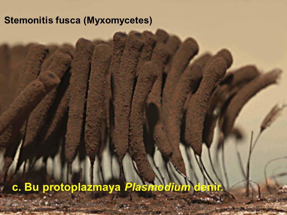 Stemonitis fusca (Myxomycetes) c. Bu protoplazmaya Plasmodium denir.