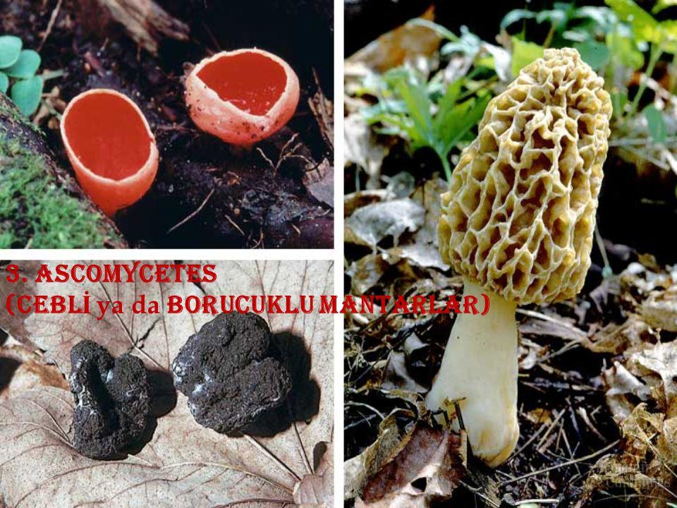 3. ascomycetes (ceblİ ya da borucuklu mantarlar)