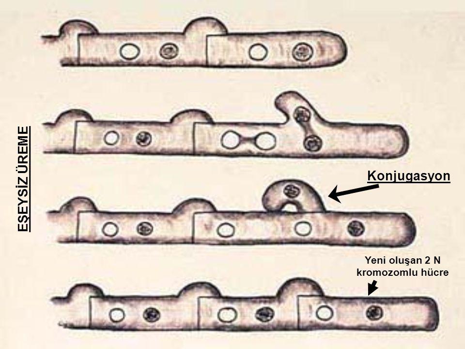Yeni oluşan 2 N kromozomlu hücre