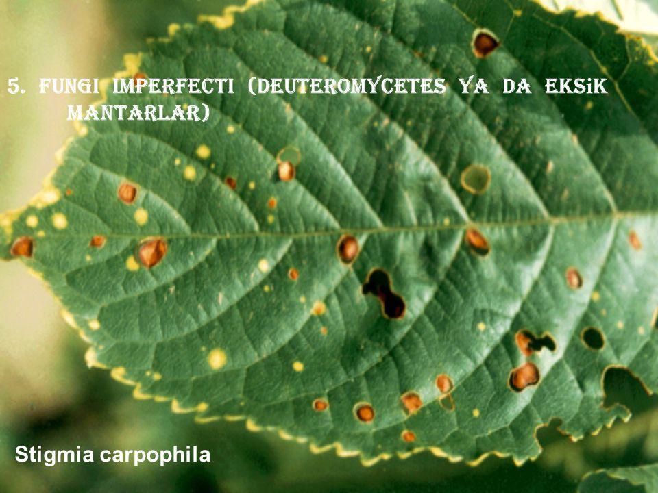 5. Fungi imperfecti (deuteromycetes ya da eksik mantarlar)