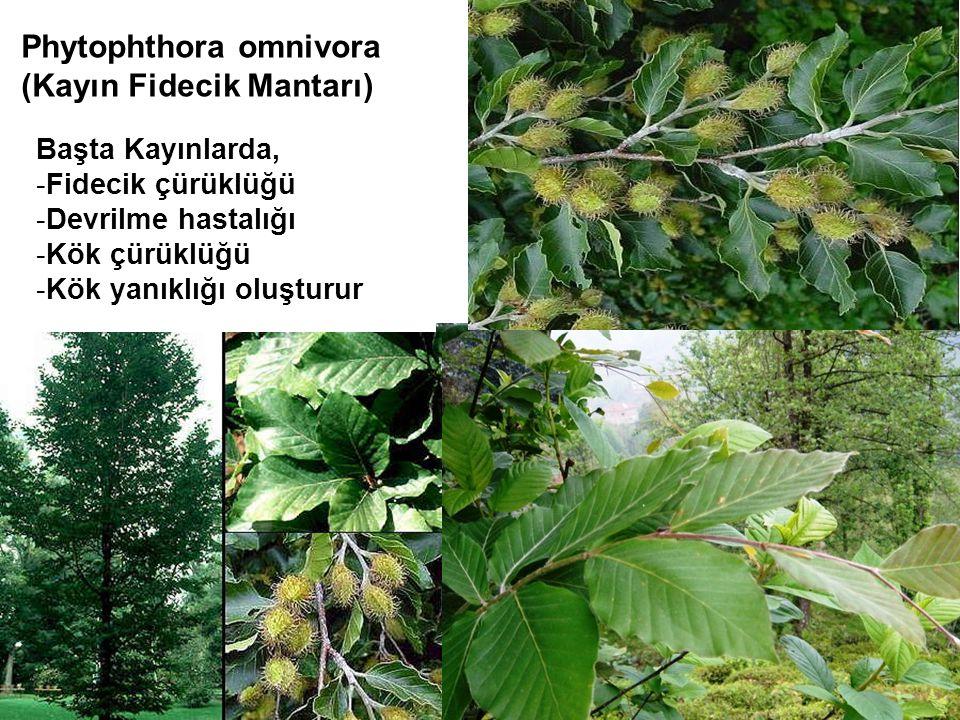 Phytophthora omnivora (Kayın Fidecik Mantarı)