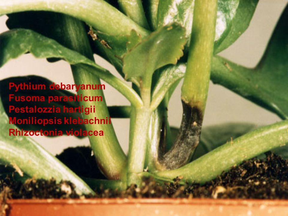 Pythium debaryanum Fusoma parasiticum. Pestalozzia hartigii.