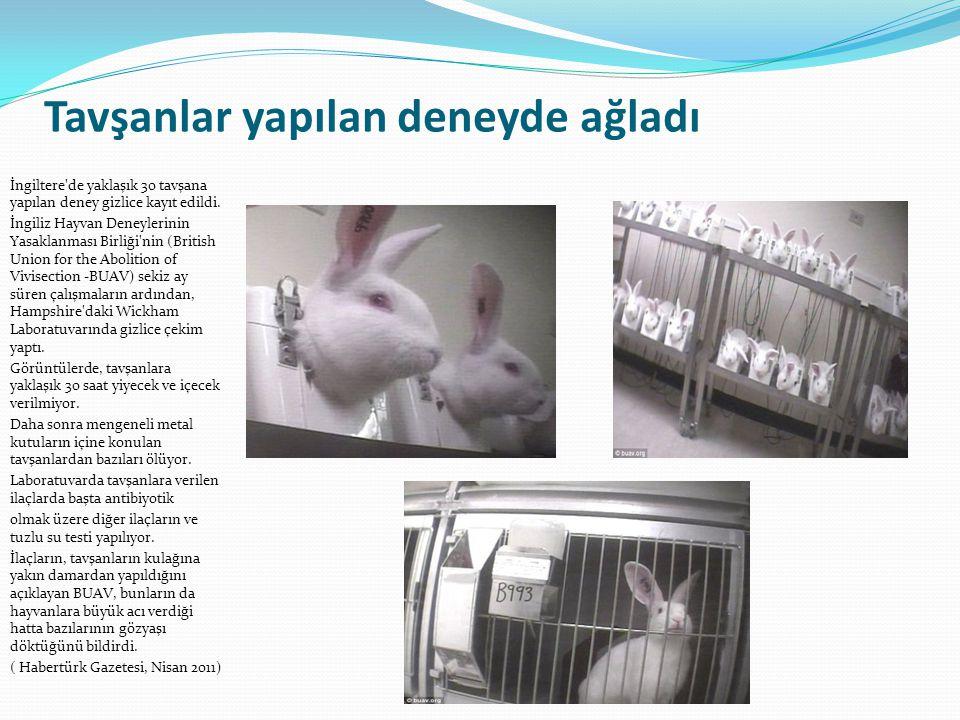 Tavşanlar yapılan deneyde ağladı