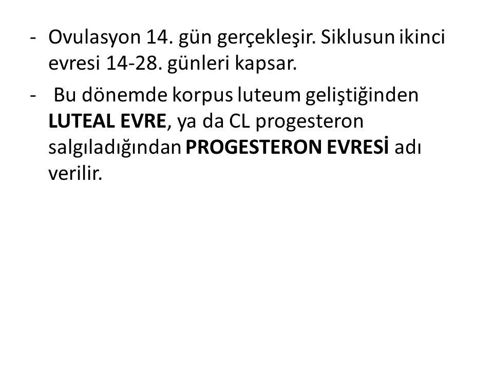 Ovulasyon 14. gün gerçekleşir. Siklusun ikinci evresi 14-28