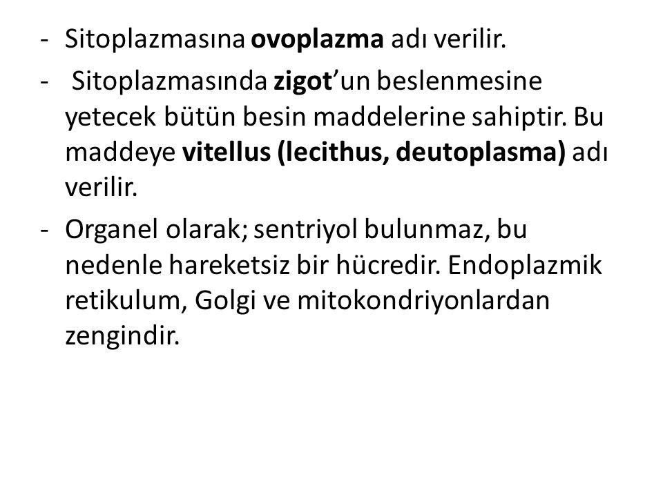Sitoplazmasına ovoplazma adı verilir.