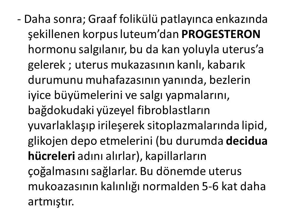 - Daha sonra; Graaf folikülü patlayınca enkazında şekillenen korpus luteum'dan PROGESTERON hormonu salgılanır, bu da kan yoluyla uterus'a gelerek ; uterus mukazasının kanlı, kabarık durumunu muhafazasının yanında, bezlerin iyice büyümelerini ve salgı yapmalarını, bağdokudaki yüzeyel fibroblastların yuvarlaklaşıp irileşerek sitoplazmalarında lipid, glikojen depo etmelerini (bu durumda decidua hücreleri adını alırlar), kapillarların çoğalmasını sağlarlar.