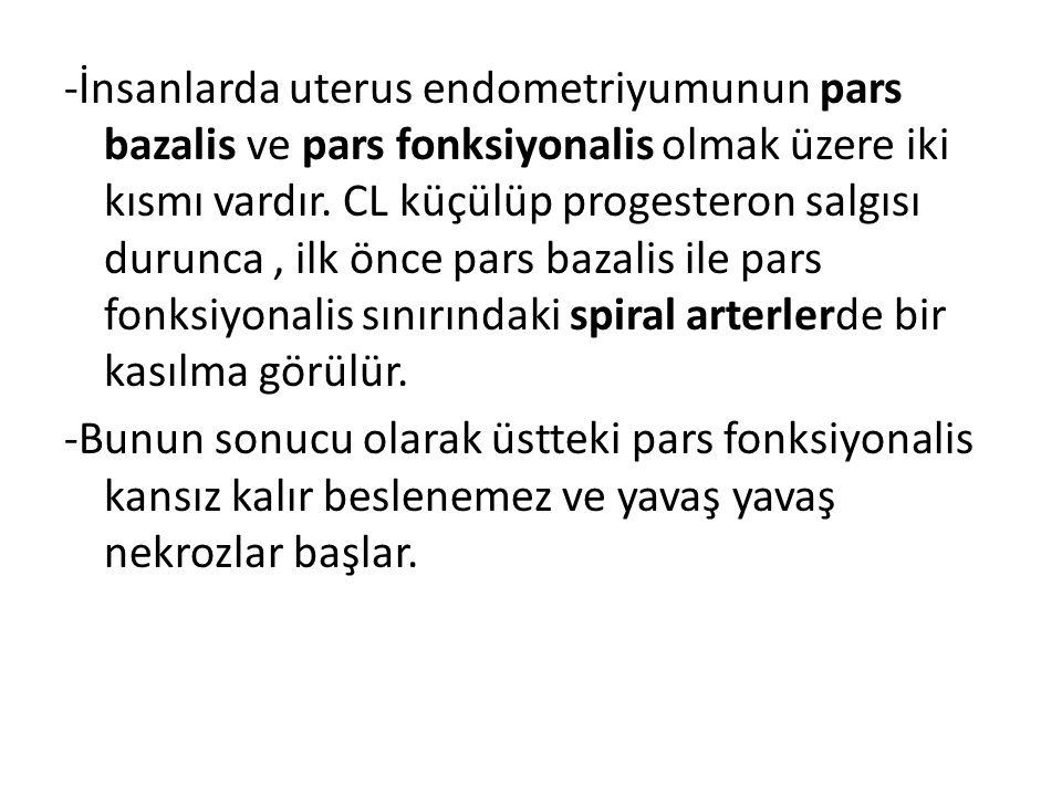 -İnsanlarda uterus endometriyumunun pars bazalis ve pars fonksiyonalis olmak üzere iki kısmı vardır. CL küçülüp progesteron salgısı durunca , ilk önce pars bazalis ile pars fonksiyonalis sınırındaki spiral arterlerde bir kasılma görülür.