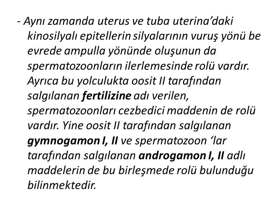 - Aynı zamanda uterus ve tuba uterina'daki kinosilyalı epitellerin silyalarının vuruş yönü be evrede ampulla yönünde oluşunun da spermatozoonların ilerlemesinde rolü vardır.