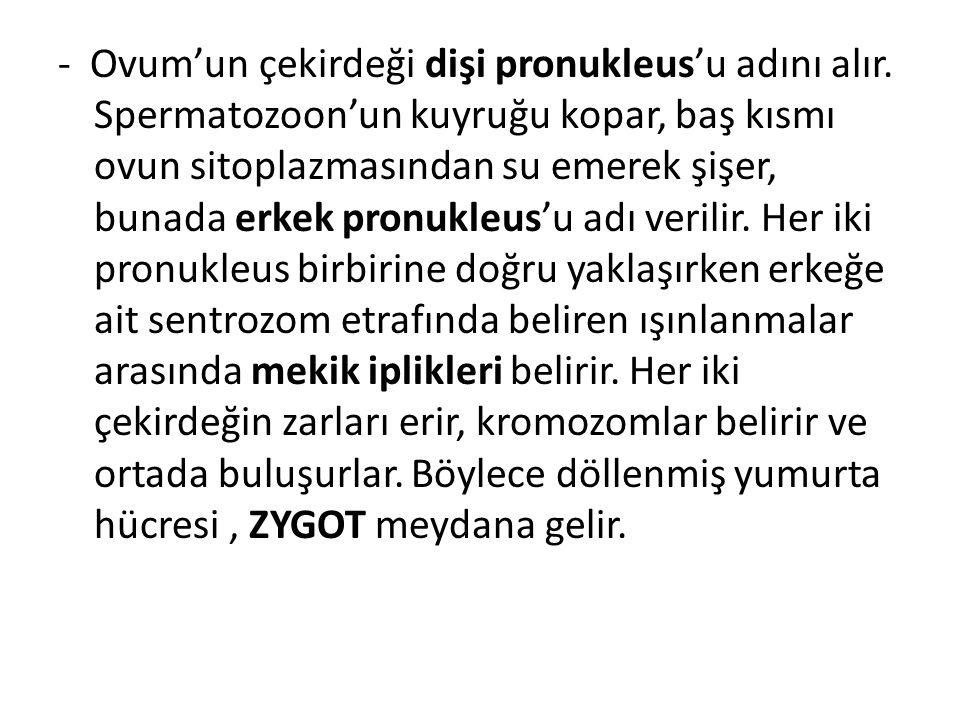 - Ovum'un çekirdeği dişi pronukleus'u adını alır