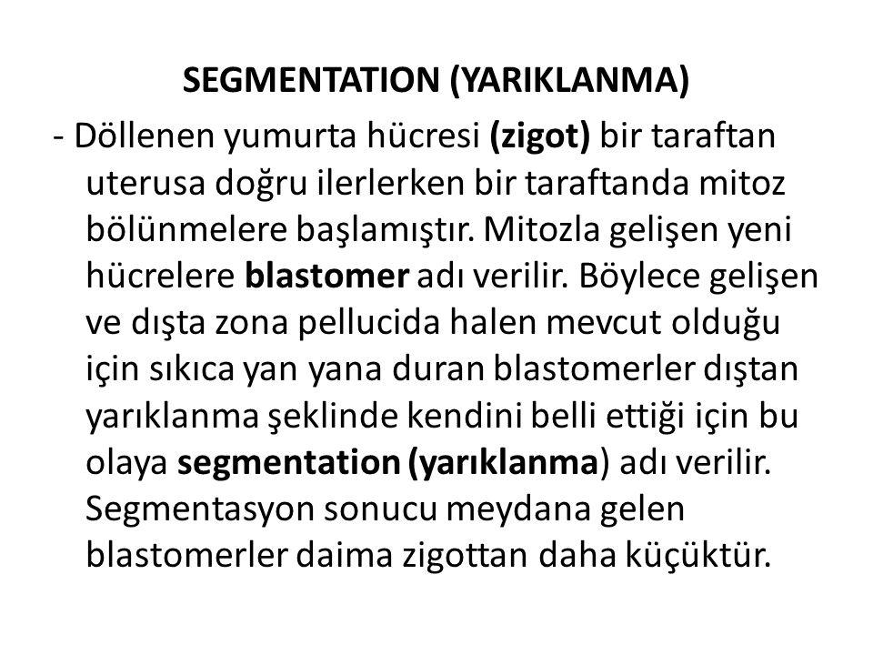 SEGMENTATION (YARIKLANMA) - Döllenen yumurta hücresi (zigot) bir taraftan uterusa doğru ilerlerken bir taraftanda mitoz bölünmelere başlamıştır.