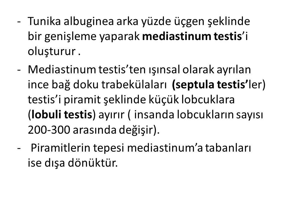 Tunika albuginea arka yüzde üçgen şeklinde bir genişleme yaparak mediastinum testis'i oluşturur .