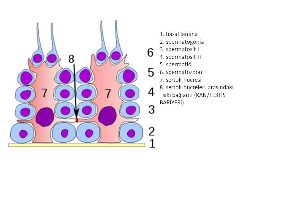 1. bazal lamina 2. spermatogonia. 3. spermatosit I. 4. spermatosit II. 5. spermatid. 6. spermatozoon.