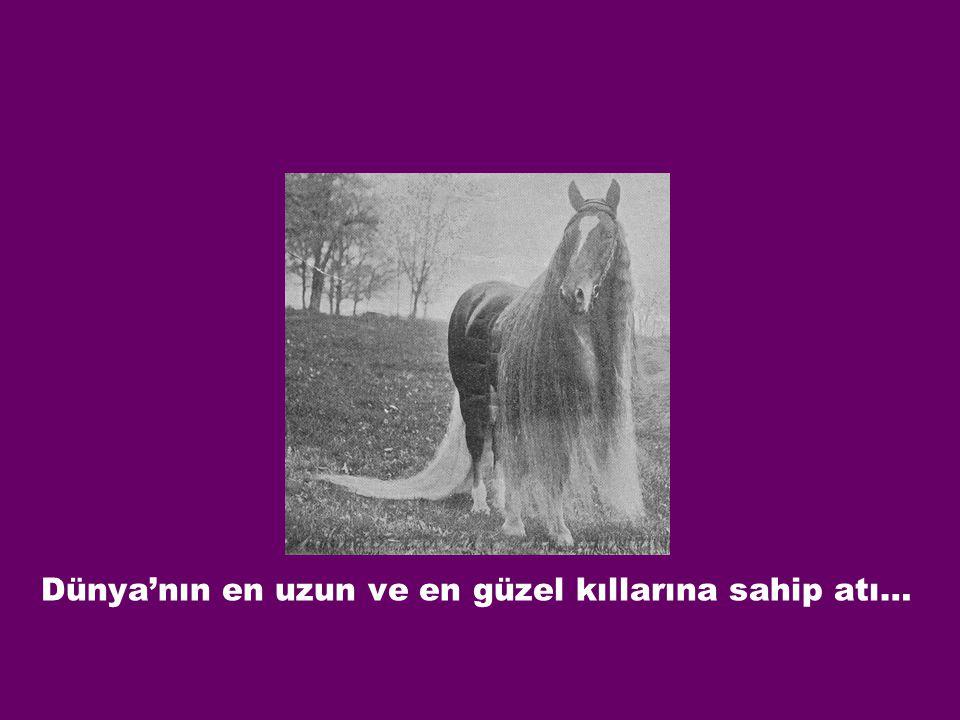 Dünya'nın en uzun ve en güzel kıllarına sahip atı…