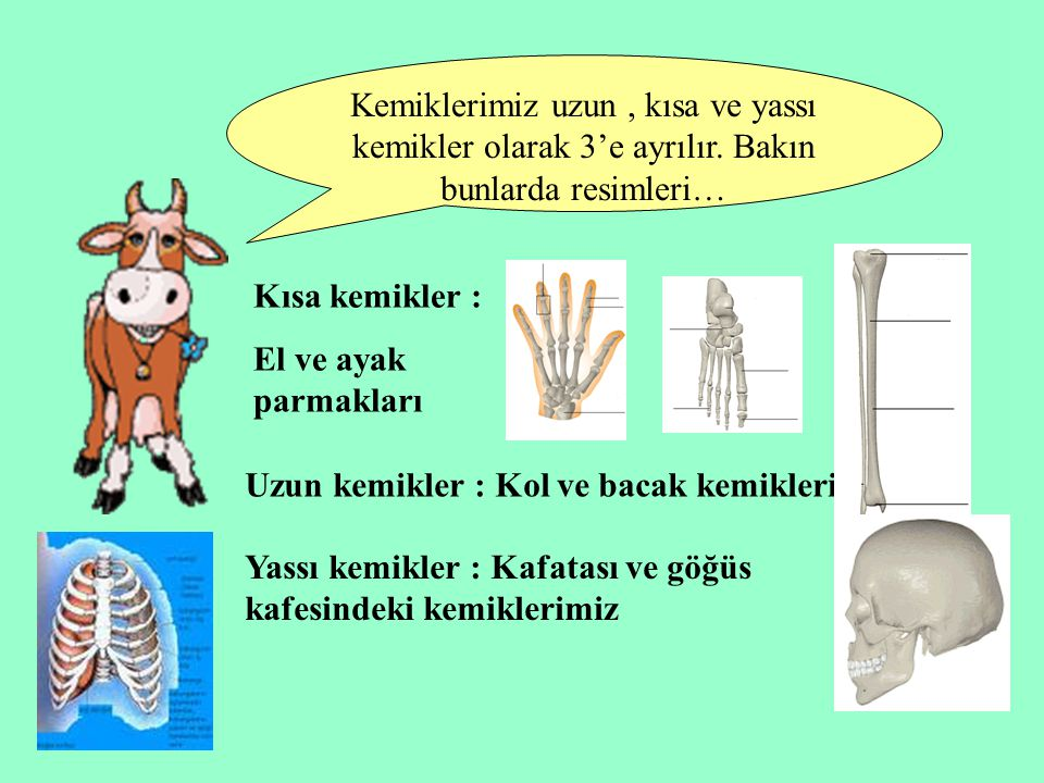 Kemiklerimiz uzun , kısa ve yassı kemikler olarak 3'e ayrılır