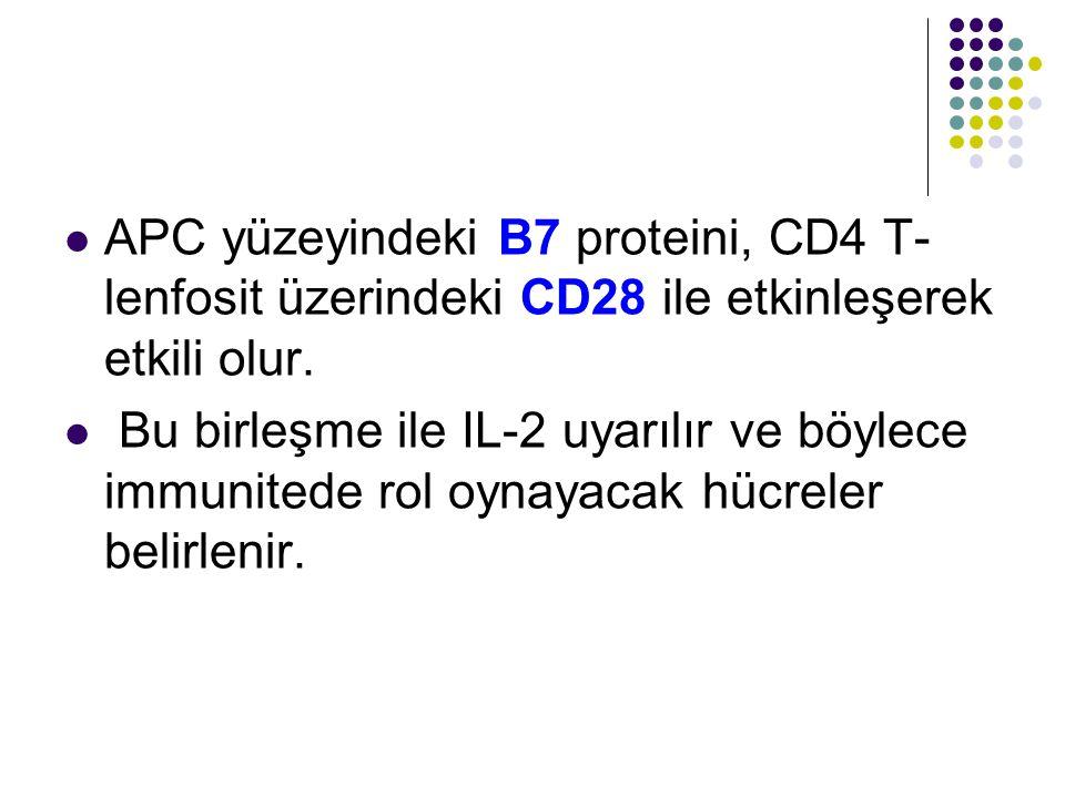 APC yüzeyindeki B7 proteini, CD4 T-lenfosit üzerindeki CD28 ile etkinleşerek etkili olur.