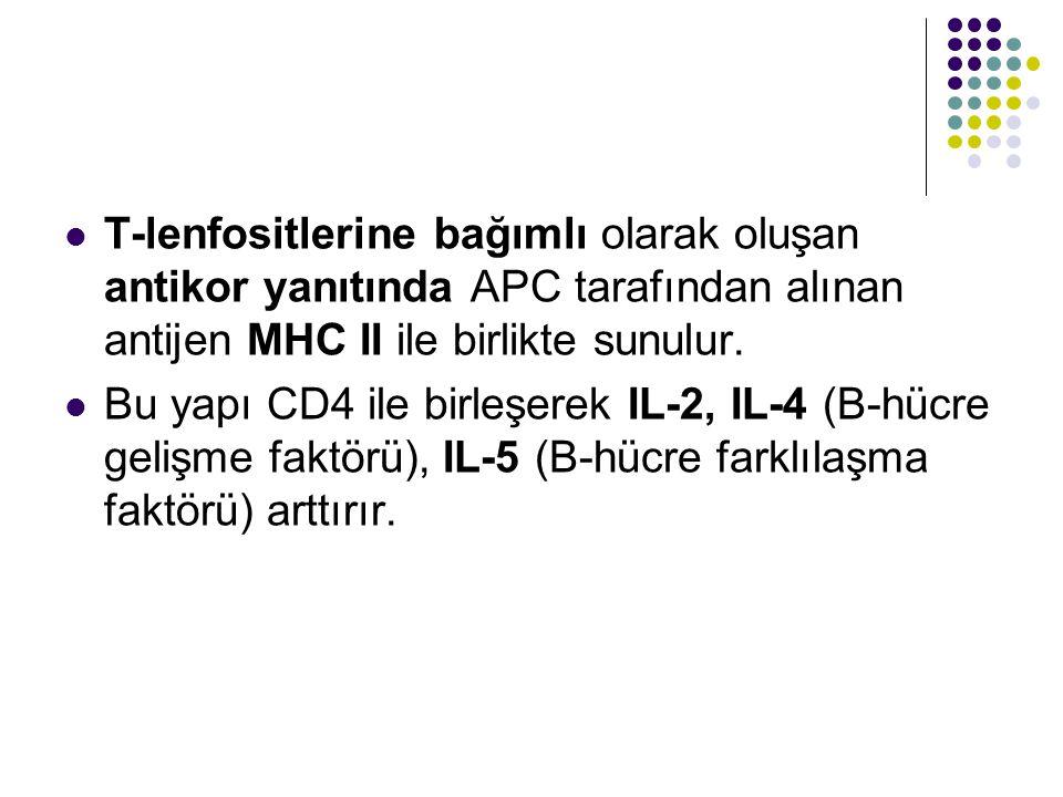 T-lenfositlerine bağımlı olarak oluşan antikor yanıtında APC tarafından alınan antijen MHC II ile birlikte sunulur.