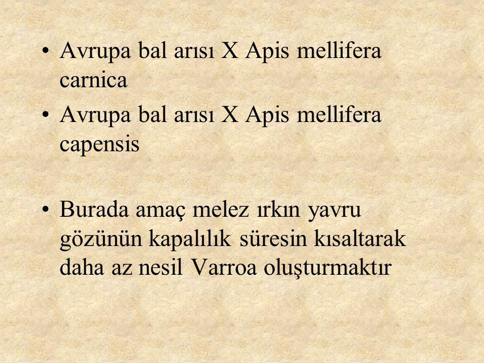 Avrupa bal arısı X Apis mellifera carnica