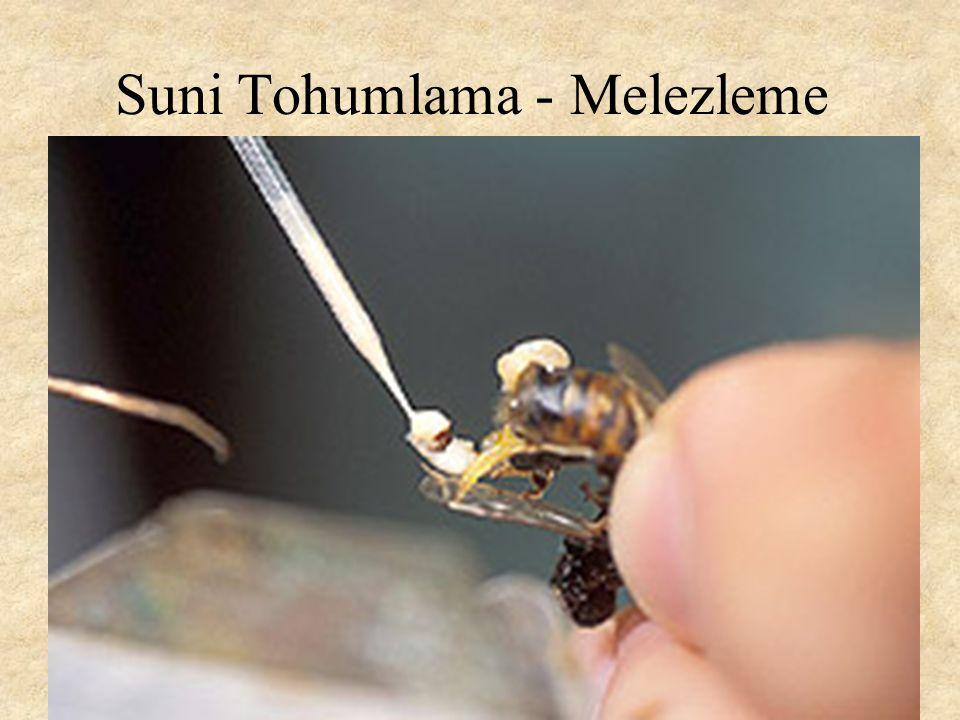 Suni Tohumlama - Melezleme