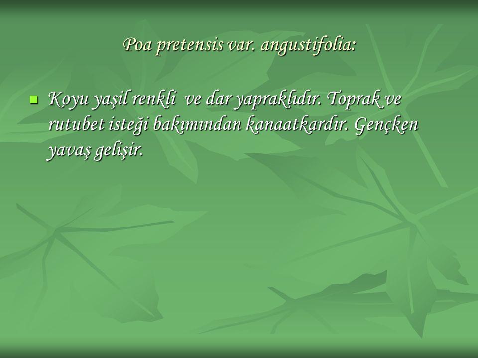 Poa pretensis var. angustifolia: