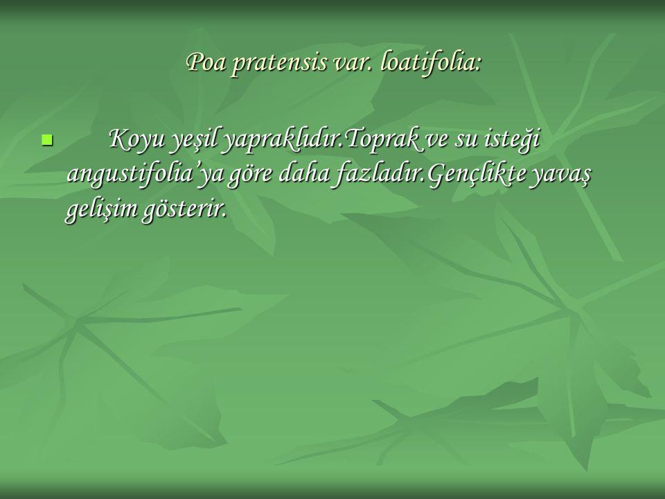 Poa pratensis var. loatifolia: