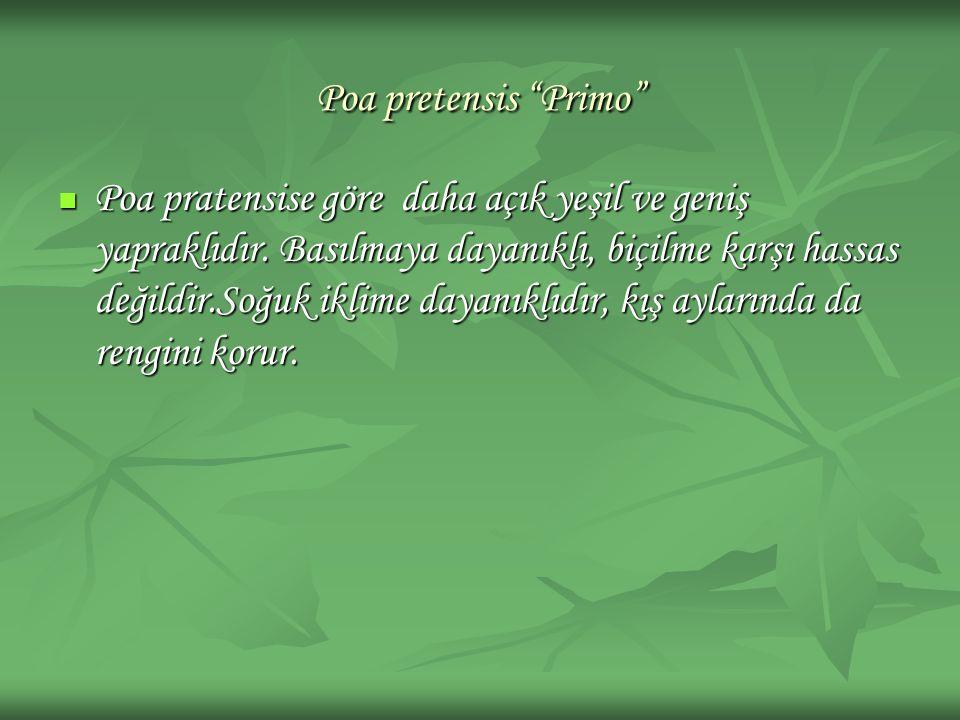 Poa pretensis Primo