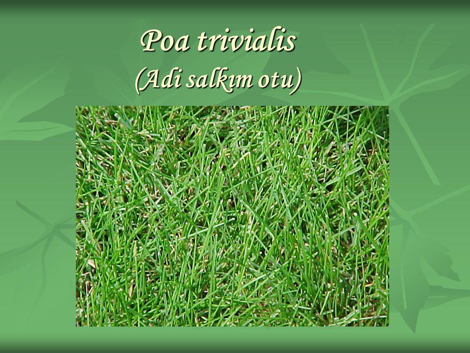 Poa trivialis (Adi salkım otu)
