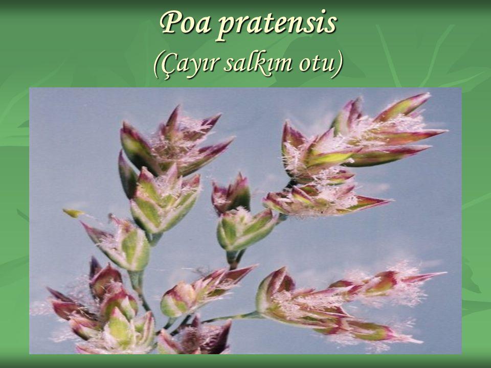 Poa pratensis (Çayır salkım otu)