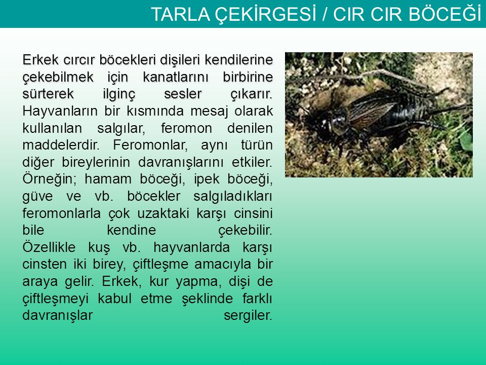 TARLA ÇEKİRGESİ / CIR CIR BÖCEĞİ