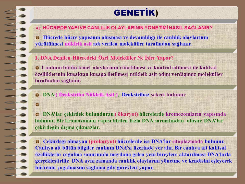 GENETİK) A) HÜCREDE YAPI VE CANLILIK OLAYLARININ YÖNETİMİ NASIL SAĞLANIR
